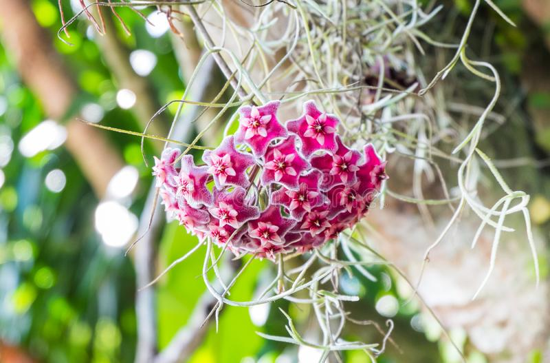 Asclepiadoideae là sont beaucoup d'utilisations Mais les la plupart sont employées en tant que plantes ornementales photographie stock