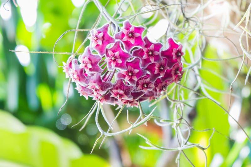 Asclepiadoideae là sont beaucoup d'utilisations Mais les la plupart sont employées en tant que plantes ornementales photos libres de droits