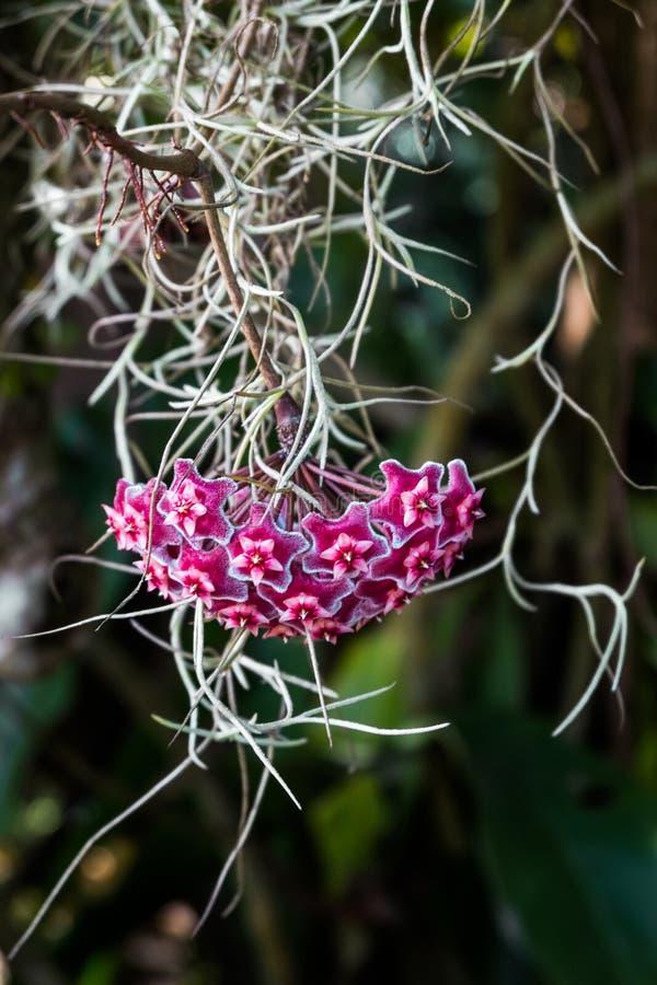 Asclepiadoideae là sont beaucoup d'utilisations Mais les la plupart sont employées en tant que plantes ornementales photos stock