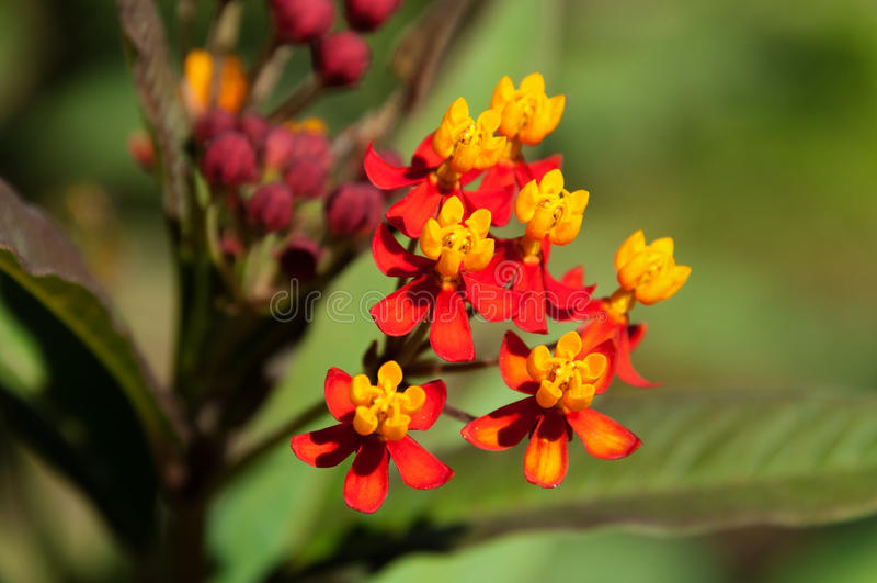 Asclepias curassavica Blume lizenzfreie stockfotos