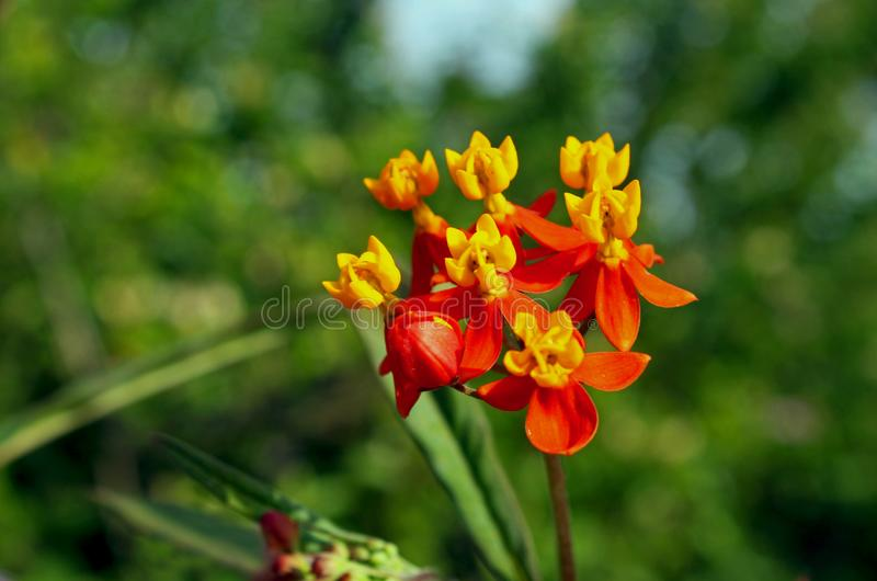 Asclepias curassavica, mexikanisches Schmetterlingsunkraut stockfotos