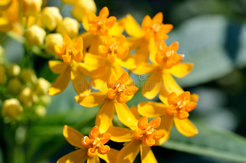 Asclepias curassavica. (Silky Gold) royalty free stock images