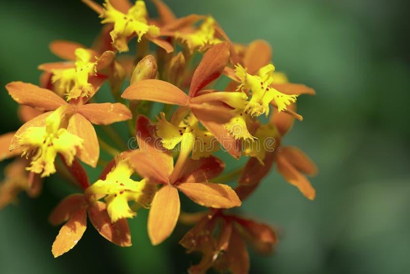 Asclepias Curassavica Slut upp makroskott av den tropiska milkweedblomman arkivfoton