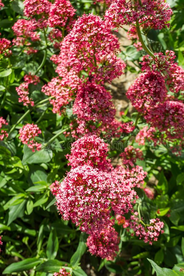 Asclepias. The flower of Asklepias in the spring garden, milkweed, asclepias, pink, summer, blooming, nature, purple, plant, macro, silkweed, blossom, closeup royalty free stock photo