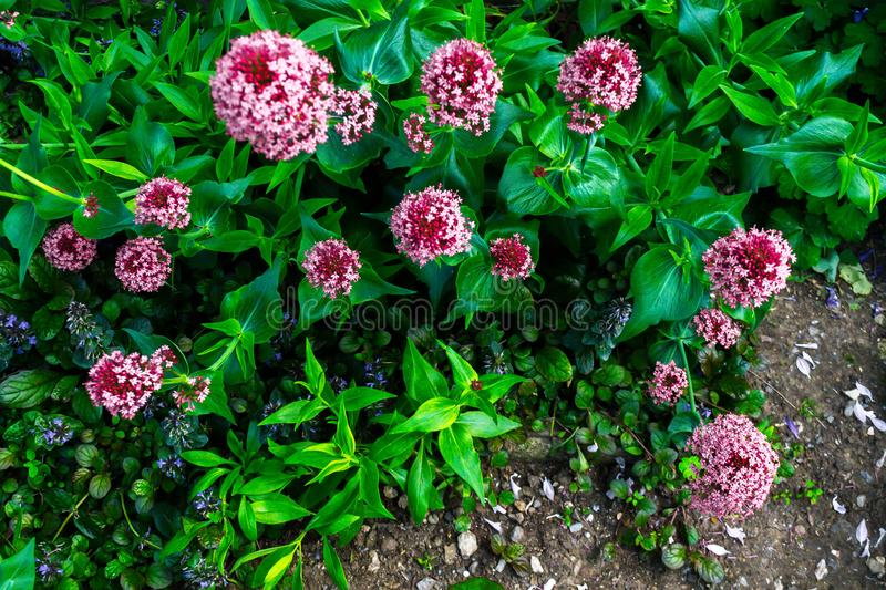 Asclepias. The flower of Asklepias in the spring garden, milkweed, asclepias, pink, summer, blooming, nature, purple, plant, macro, silkweed, blossom, closeup stock photography