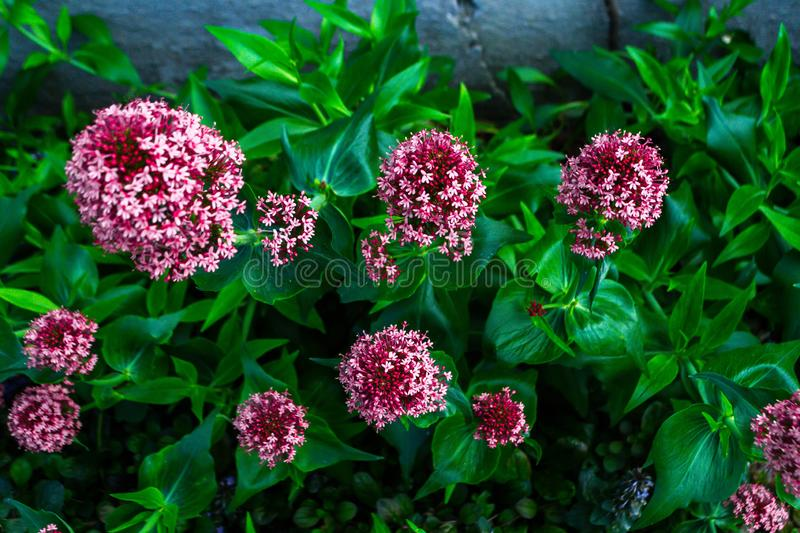 Asclepias. The flower of Asklepias in the spring garden, milkweed, asclepias, pink, summer, blooming, nature, purple, plant, macro, silkweed, blossom, closeup royalty free stock photos
