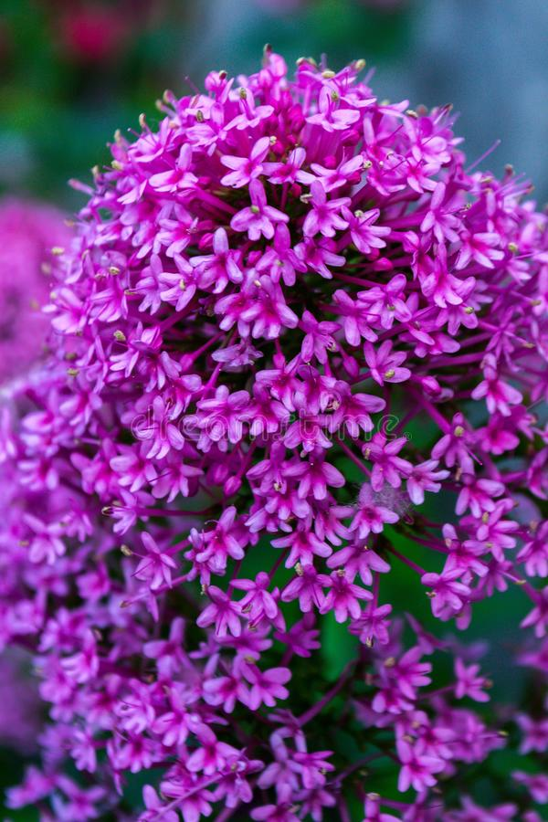 Asclepias. The flower of Asklepias in the spring garden, milkweed, asclepias, pink, summer, blooming, nature, purple, plant, macro, silkweed, blossom, closeup royalty free stock image