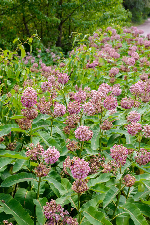 Asclepias Flower and Bees. Pink and white Asclepias syriaca flowers and buds, also known as Milkweed or silkweed, with foraging bees, in the meadow close to the royalty free stock photography