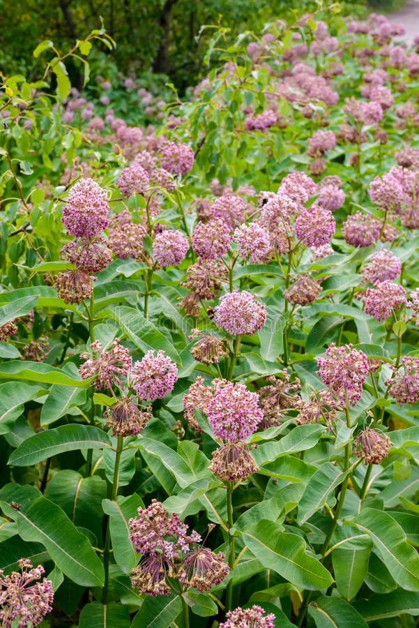 Asclepias Flower and Bees. Pink and white Asclepias syriaca flowers and buds, also known as Milkweed or silkweed, with foraging bees, in the meadow close to the royalty free stock images