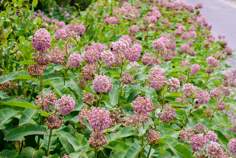 Asclepias Flower and Bees. Pink and white Asclepias syriaca flowers and buds, also known as Milkweed or silkweed, with foraging bees, in the meadow close to the royalty free stock image