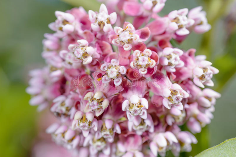 Asclepias Flower. Macro of a pink and white Milkweed flower in the meadow under the warm spring sun stock photos