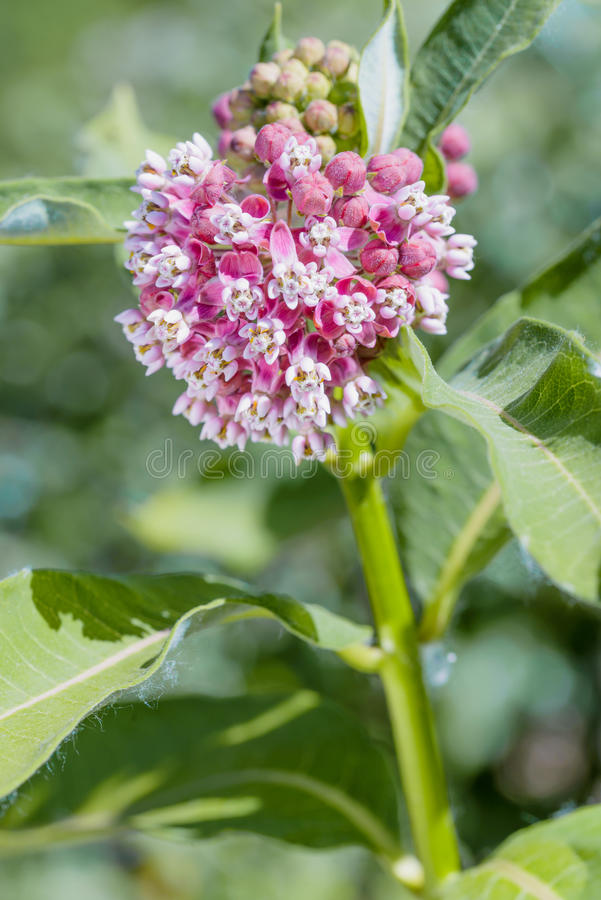 Asclepias Flower. Macro of a pink and white Milkweed flower in the meadow under the warm spring sun royalty free stock photography