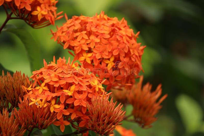 Asclepias Tuberosa, Apocynaceae, Milkweed royalty free stock photography