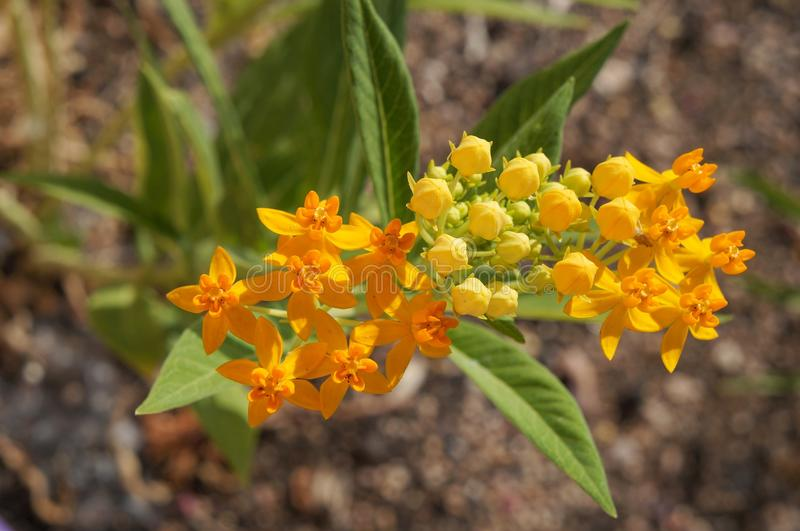 Asclepias tuberosa or tropical milkweed in full blossom, selective focus on the flower stock photography