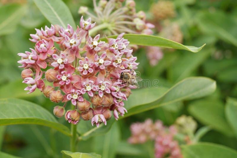 Asclepiassyriaca och funktionsdugliga bin fotografering för bildbyråer
