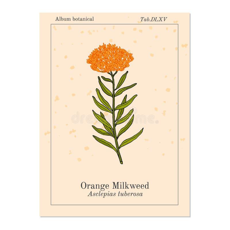 Asclepiastuberosa för orange milkweed, medicinalväxt royaltyfri illustrationer
