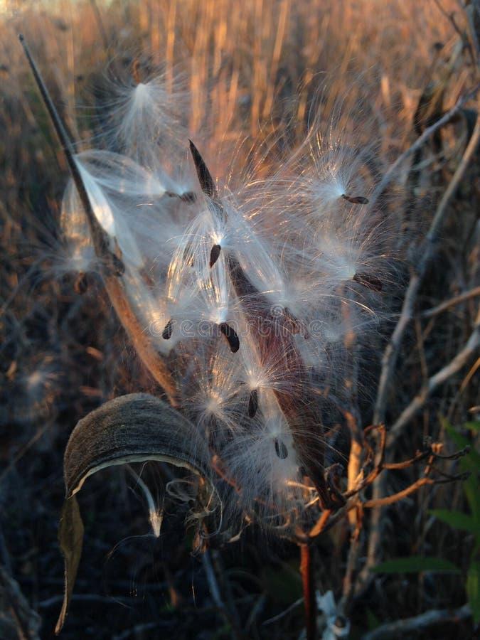Asclepius Curassavica Plant Seedpod com as sementes durante o por do sol na queda fotografia de stock royalty free