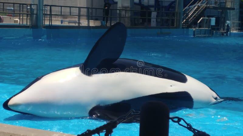 Asesino una ballena que pone en orca lateral foto de archivo libre de regalías