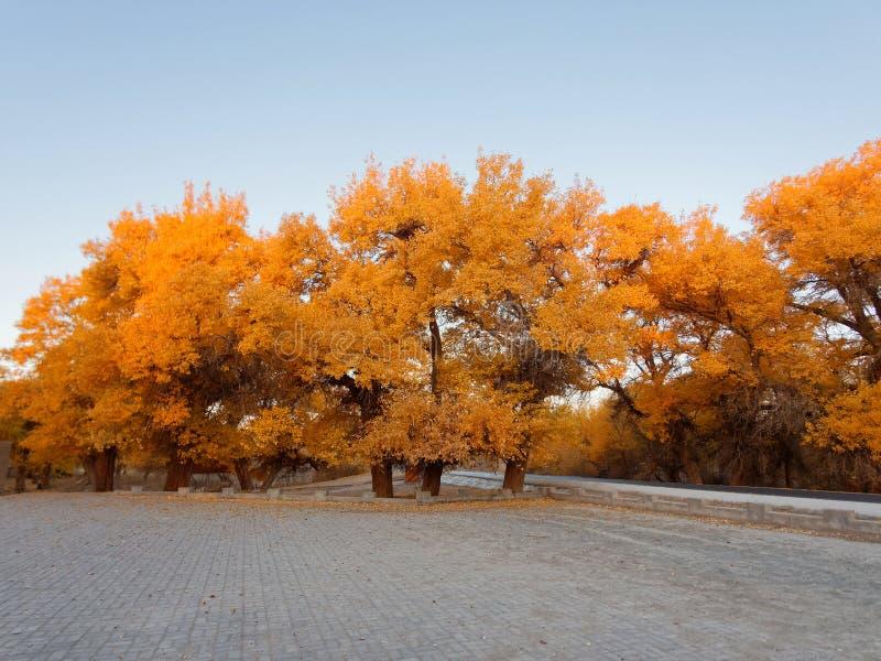 Asfaltweg in de gouden bomen van populuseuphratica in vroege ochtend, Ejina in de herfst stock afbeelding