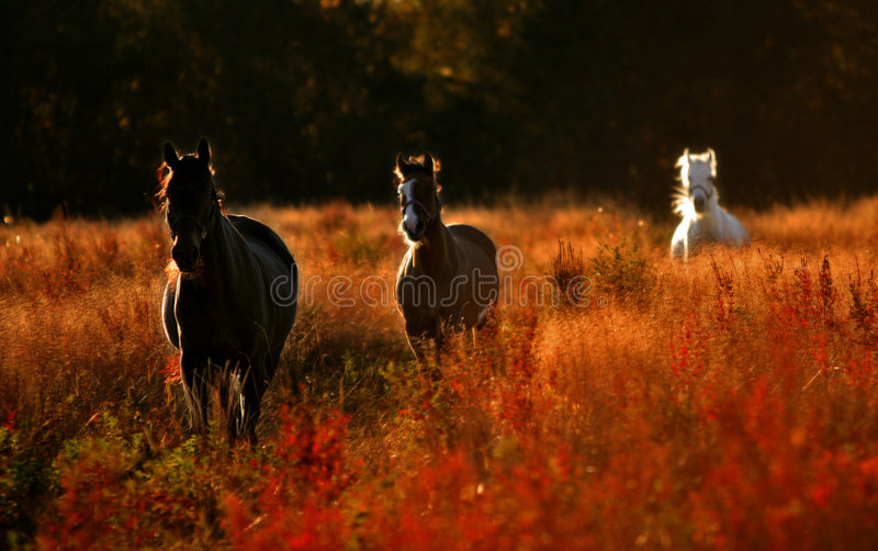 Asfolth. Wild horses royalty free stock image