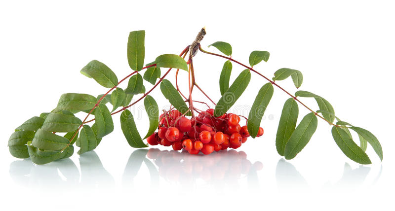 Ash-berry with leaves isolated on white background. Ash-berry with green leaves isolated on white background royalty free stock images