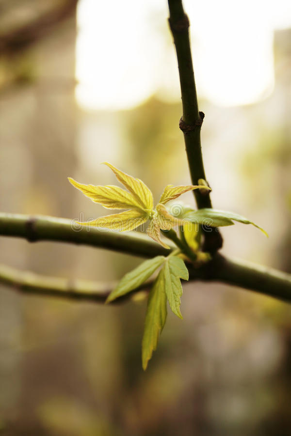 Ash-leaved Maple branch royalty free stock photos