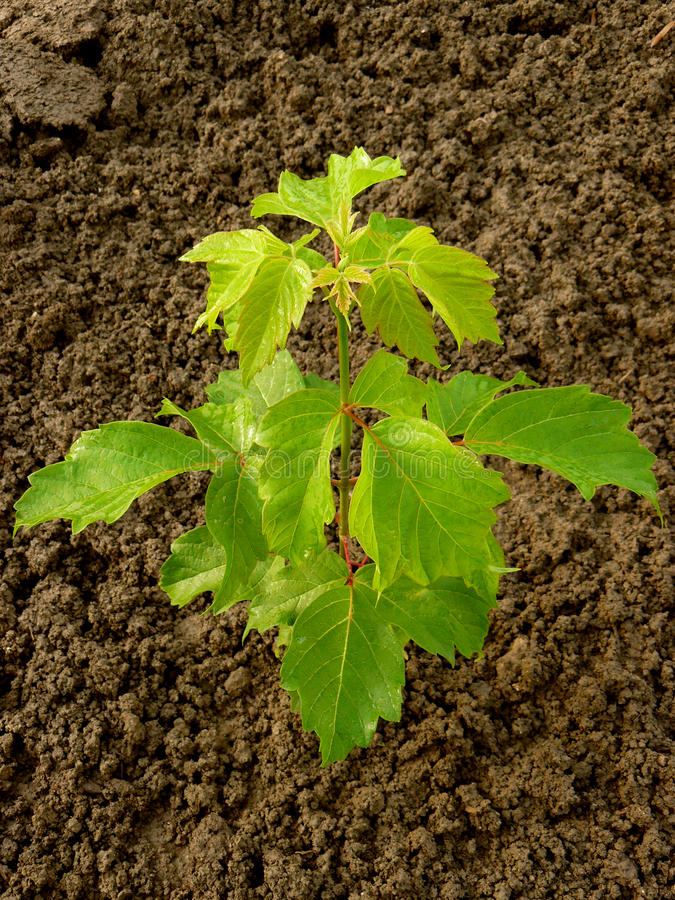 Download Ash-leaved maple stock image. Image of forest, seedling - 41326441