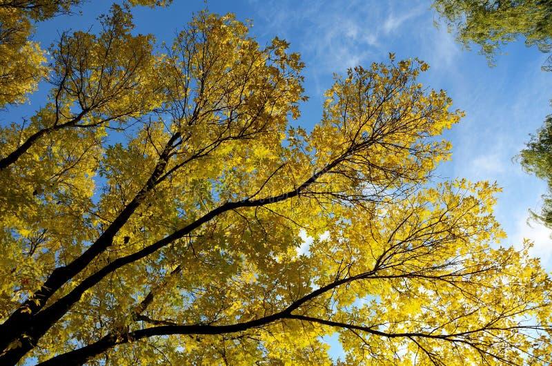 Ash Leaves variopinto in autunno fotografia stock libera da diritti
