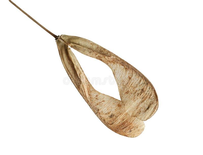 ash nasiona drzewa zdjęcia stock