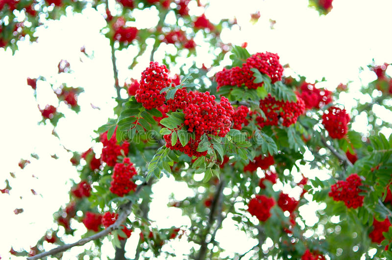 Download Ash (rowan) Tree And Ashberry (rowanberry). Stock Image - Image of green, branch: 11415151