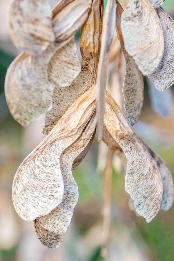 Free Ash Seed On Tree Ready To Fly Away Royalty Free Stock Image - 46541516