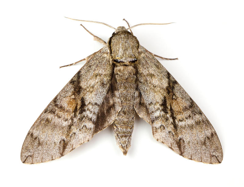 Ash Sphinx Moth royaltyfri fotografi