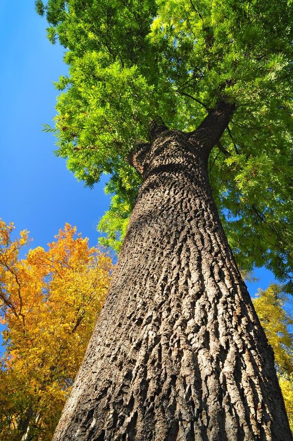 Ash Tree royalty-vrije stock fotografie