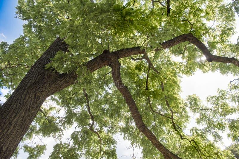 Ash Tree royalty-vrije stock foto