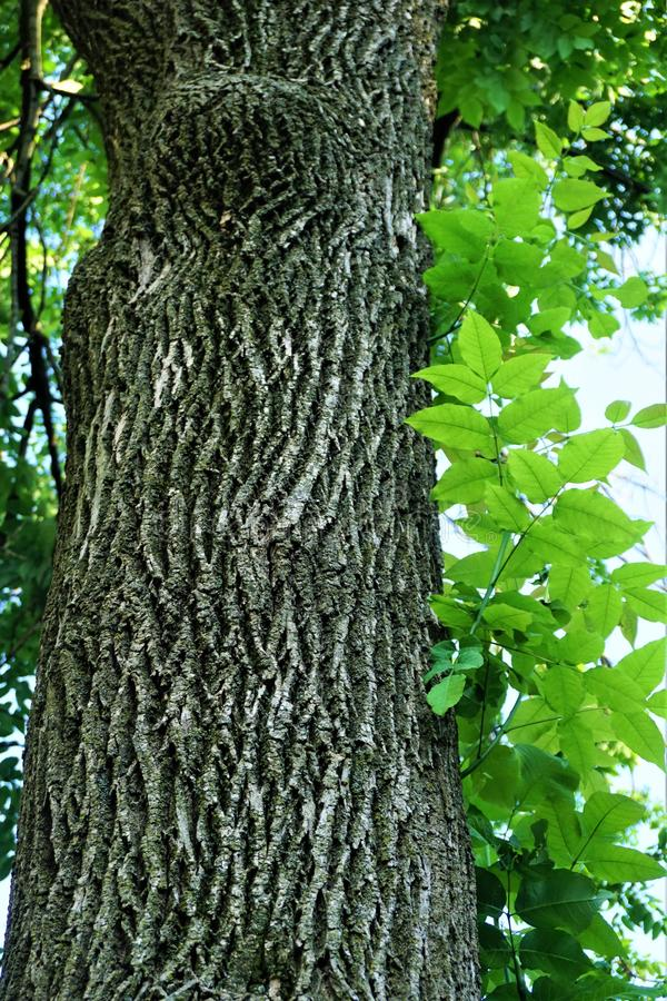 Ash tree bark and leaves stock photo