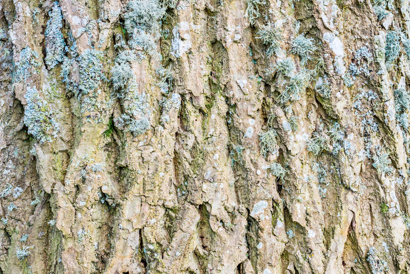 Ash tree bark textured detail. Lichen covered ash tree bark. Textured pattern. Brecon Beacons, February stock photos