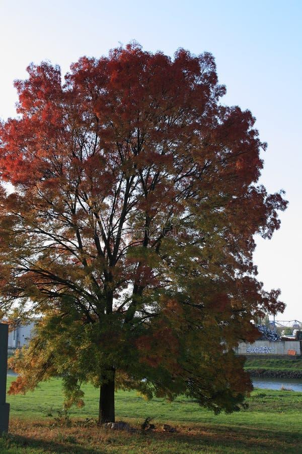 Ash-Tree en otoño en un día soleado foto de archivo