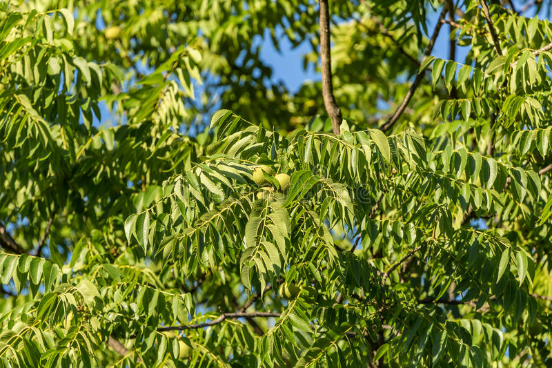 Ash tree with fruits stock photos