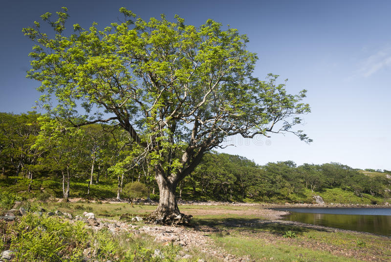 The Ash Tree. An image of an Ash Tree situated in Tollie bay at the end of Loch Maree royalty free stock image