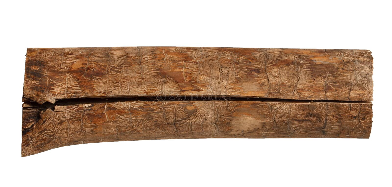 Ash tree wood log with bark beetle tracks stock image