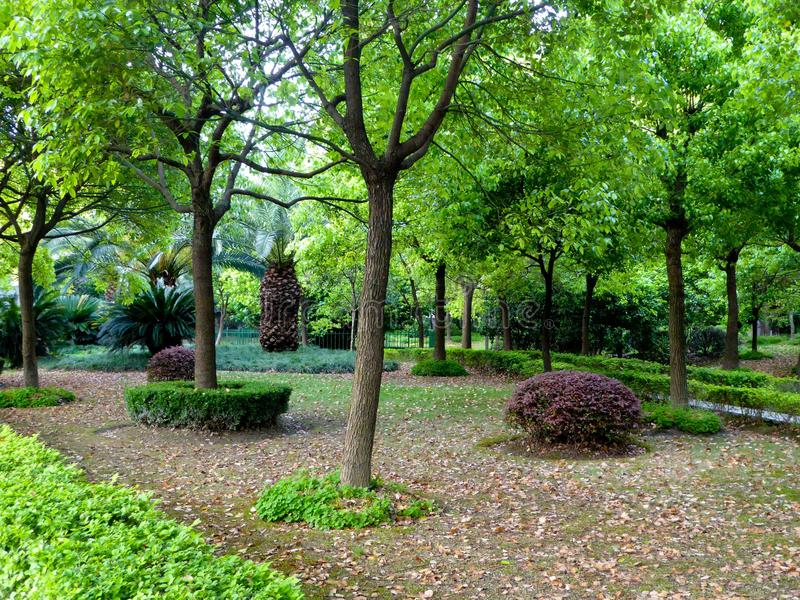 Ash trees on the roadside. Few ash trees growing on the roadside with leaves on the ground in century park Shanghai China stock photo