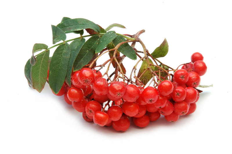 Download Ashberries stock image. Image of berry, isolated, bouquet - 1420463