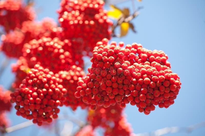 Ashberries стоковая фотография