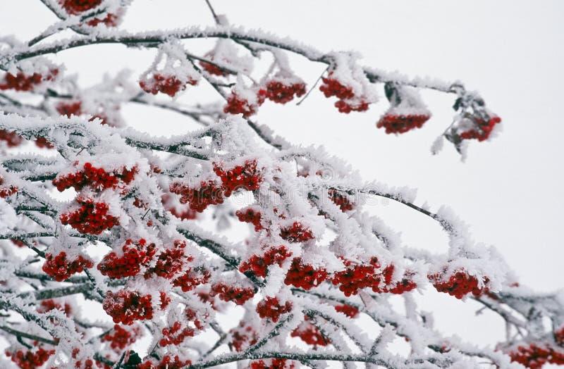 Ashberries in wintertijd stock afbeelding