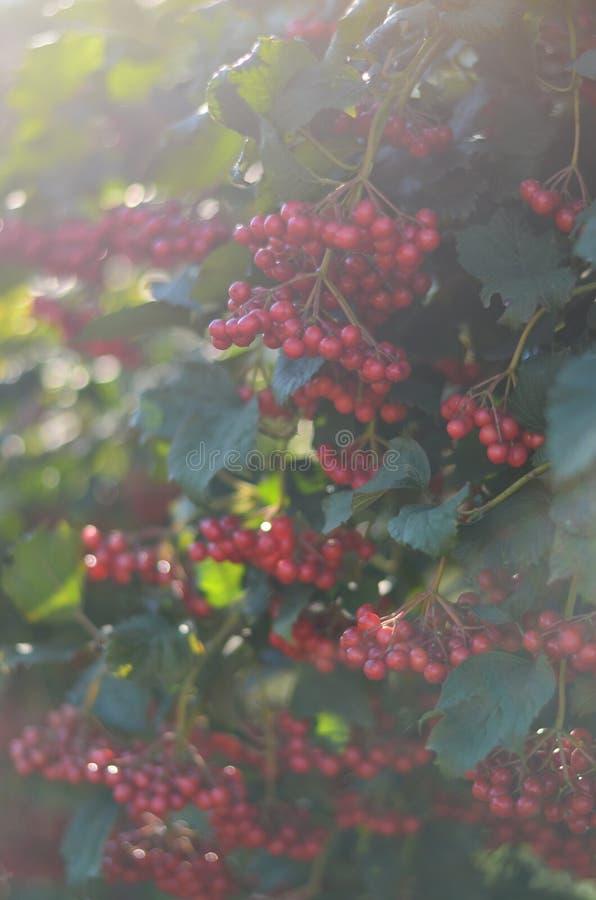 Ashberry在乌克兰 库存图片