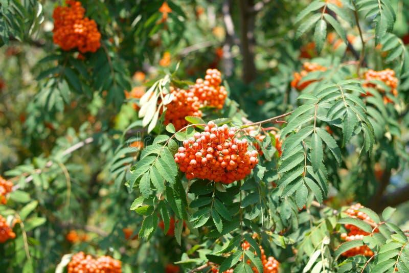 Ashberry στην ξηρά ηλιόλουστη ημέρα στοκ φωτογραφία με δικαίωμα ελεύθερης χρήσης