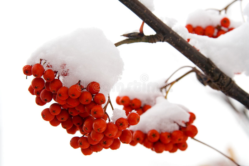 Download Ashberry Stock Photos - Image: 1470673