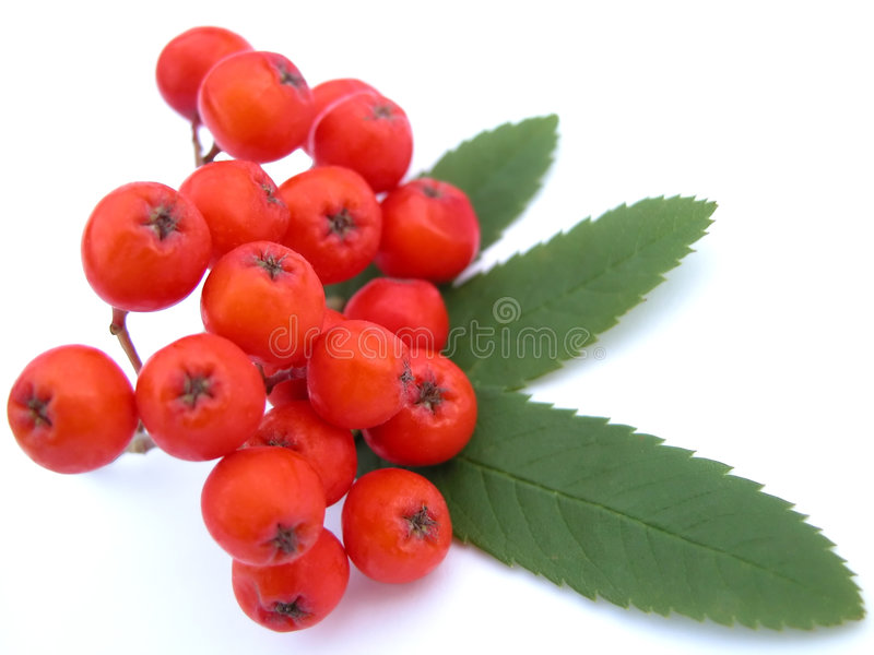 Ashberry photo stock