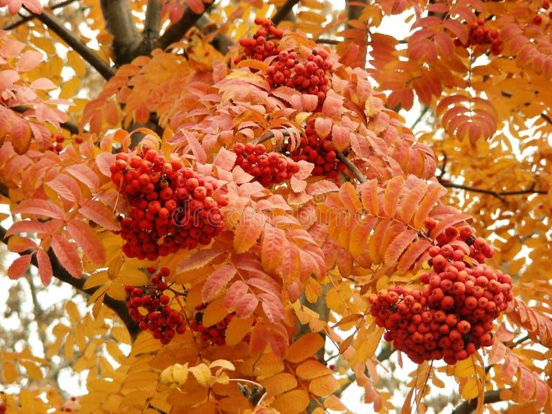 ashberry 免版税库存图片
