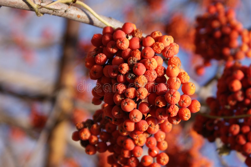 ashberry photos stock